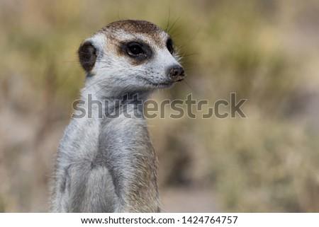 meerkat closup in Kalahari area Botswana