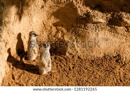 Meerkat couple looking