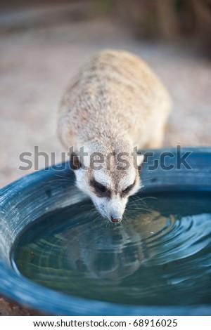 Meerkat Drinking Water