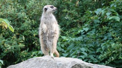 Meerkat guards and stands on a stone. In the background are trees.