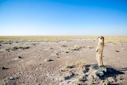 Meerkat in Bushveld