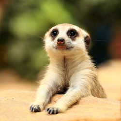 Meerkat in open zoo of Thailand (selective Focus)