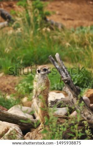 Meerkat in wild close-up. Animals, mammals, nature