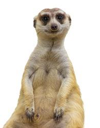 meerkat isolated
