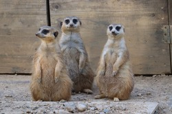 Meerkat life at the zoo.