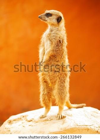 Meerkat looking around. Orange natural background, shot in Africa.