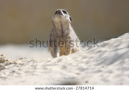 Meerkat looking up