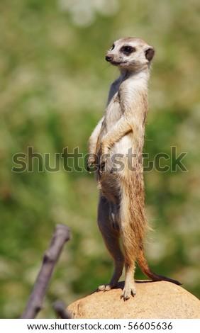 Meerkat looking up at the camera