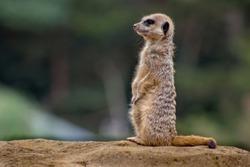 Meerkat on lookout duty