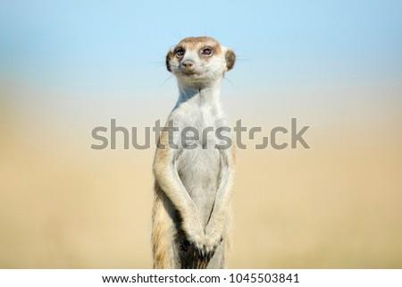 Meerkat on patrol