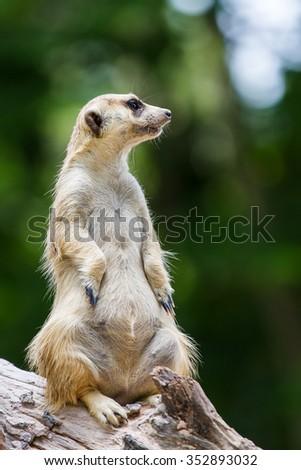 Meerkat,One Animal.