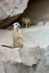 Meerkat or suricate are mamalia and family members of mongoose. Meerkat lives in Gurun Kalahari in Botswana and African.