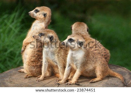 Meerkat or suricate family on the look out