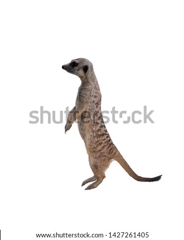 Meerkat or Suricate isolated on white background