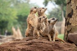Meerkat or suricate (Suricata suricatta), a small carnivoran from the mongoose family, Native to he Kalahari Desert in Botswana, the Namib Desert in Namibia, Angola, South Africa.