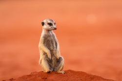 Meerkat or Suricate (Suricata suricatta) in Namibia
