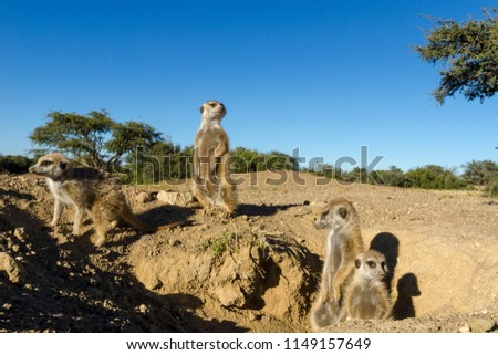 Meerkat or suricate (Suricata suricatta). Kalahari at the entrance to their burrow. Northern Cape. South Africa.