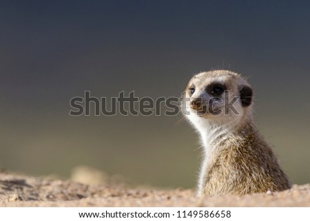 Meerkat or suricate (Suricata suricatta). Kalahari. Northern Cape. South Africa.