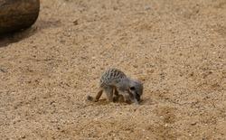 Meerkat pup digging in the sandy soil. Cute.