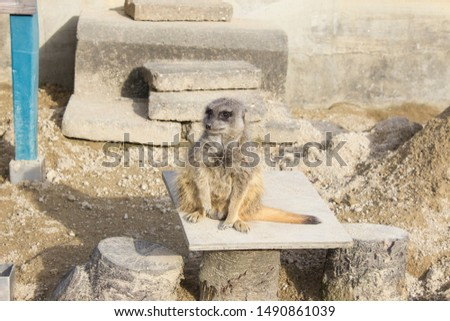 Meerkat relaxing on a stone. #1490861039