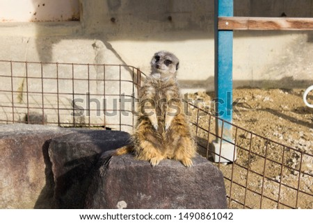 Meerkat relaxing on a stone. #1490861042