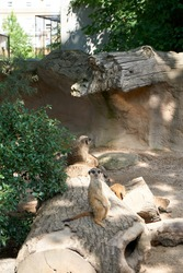 meerkat sits on tree trunk and looks into camera