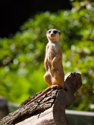 Meerkat sitting and watching around (Suricata suricatta)
