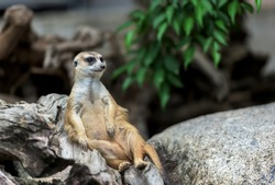Meerkat sitting on a log.Animals in the zoo. Khao Kheow Zoo ,Thailand