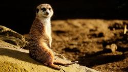 Meerkat sitting on edge of the rock enjoying sunset