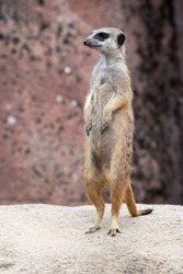Meerkat standing on a stone and being watchfully on the lookout
