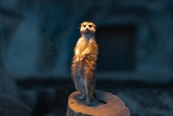 Meerkat standing on a tree