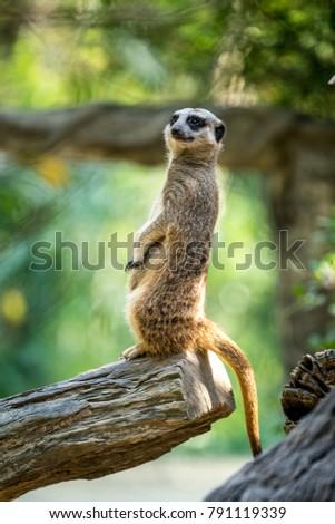 Meerkat standing on trunk.