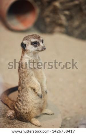 Meerkat standing view. Suricata. Meerkat watching. Meerkat looking Meerkat portrait