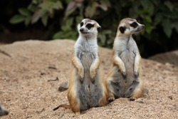 Meerkat (Suricata suricatta), also known as the suricate. Wildlife animal.