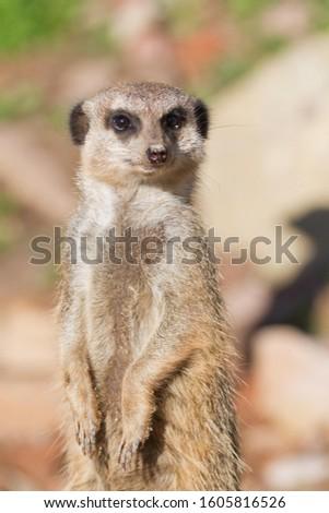 Meerkat (Suricata suricatta), captive, Germany