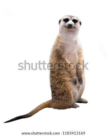 meerkat ( Suricata suricatta ) isolated on white background