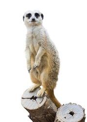 Meerkat (Suricata suricatta). Isolated  over white background