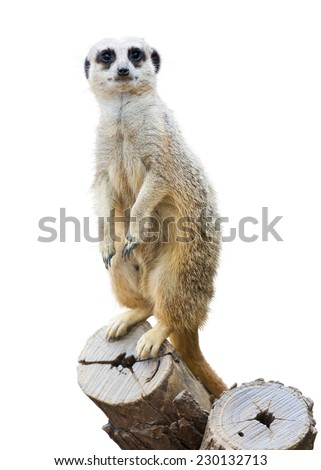 Meerkat (Suricata suricatta). Isolated  over white background