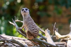 meerkat (Suricata suricatta) keeping watch while stood on a tree with a natural green background