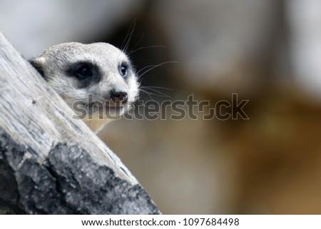 Meerkat (Suricata, suricatta) peeking behind the tree. Blurred background, space for text.