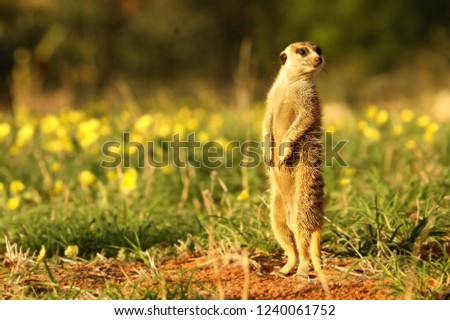 Meerkat (Suricata suricatta) Timon in Kalahari desert staying on red sand close to burrow watching around. Morning sun. Patrol. Meerkat with yellow flowers.
