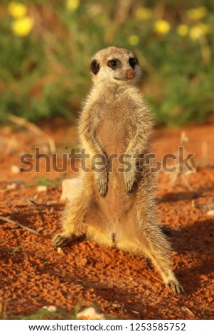 Meerkat (Suricata suricatta) Timon in Kalahari desert staying on red sand close to burrow watching around. Morning sun. Patrol.