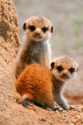 meerkat (Suricata suricatta), young animals,