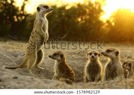 meerkat  the most funny animal. namibia wild life.