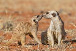 Meerkats couple playing on the sand (Suricata suricatta), Kalahari desert, Namibia
