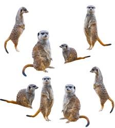 Meerkats isolated on white background
