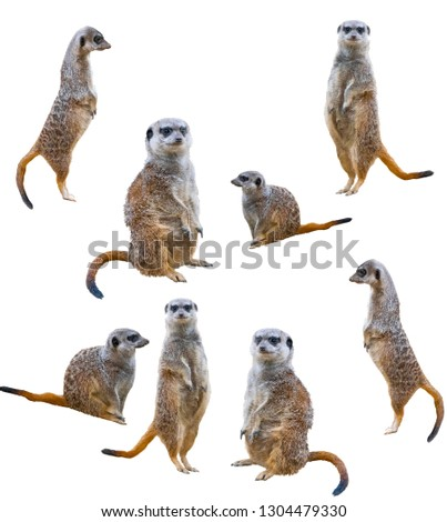 Meerkats isolated on white background