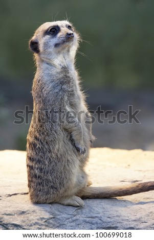Meerkats look at