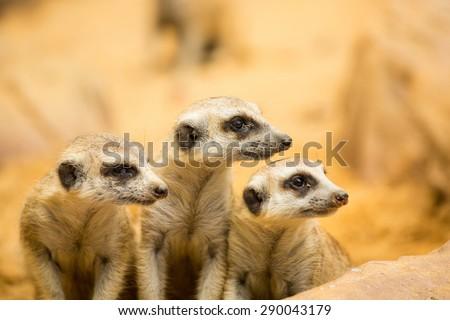 Meerkats looking something in natural wild