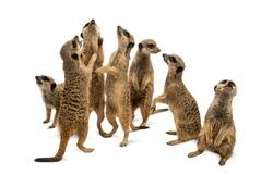 Meerkats mob, Suricata suricatta, isolated on white